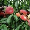 油蟠桃價格-陜西早熟油蟠桃價格,毛蟠桃產地種植行情