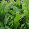 蔬菜种子 苦荬菜种子 草坪种子