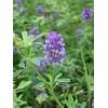 进口紫花苜蓿种子批发价格