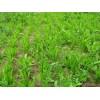 草坪草地种子菊苣牧草种子高产菊苣种子
