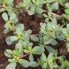 野菜马蜂菜种子 野生马蜂菜种子