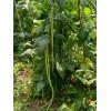长豆角种子 豆角 蔬菜豆角种子 新品种豆角种子