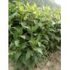 高产多年生华夏菊种子 高产多年生华夏菊牧草种子